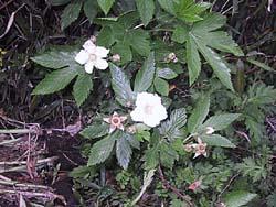 カジイチゴの花