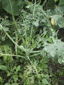 虫食いブロッコリー